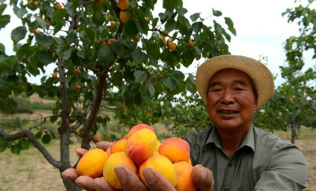 """在十多年前,榆中县和平镇豆家山村村民在退耕还林后,种植了1000余亩杏树作为经济林。这些年来,大多数时候由于天气原因产量很少,好不容易今年盼来了丰收,但却无人问津。""""杏子熟了,摘都来不及,已经开始掉落。""""村民祁先生说,这样太可惜了,希望媒体帮我们能找些买主,能为村民挽回些损失。"""