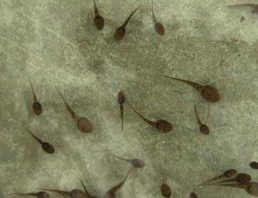查找金鱼藻的简笔画