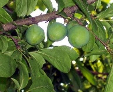 重庆类似小可爱的果子是什么果
