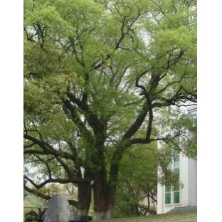 樟树的栽培技术 香樟树的种植技术资料